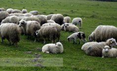 ITM Galați le-a aplicat corecții ciobanilor din județ