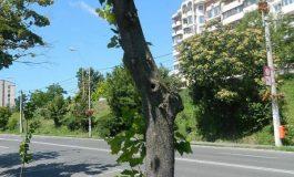 Traducerea mesajului primarului Stan referitor la copacii tăiați pe faleză