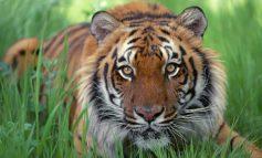 Cît mănîncă și cît costă carnea leilor și tigrilor de la Zoo Gârboavele