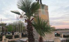 În Noul și exoticul Galați au apărut din nou palmierii
