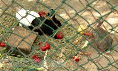 Inedit: crescătoria de iepuri de la Gîrboavele are și un leu