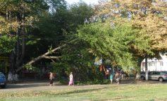 Copac prăbușit la cîțiva centimetri de copiii aflați într-un parc din Galați (foto)