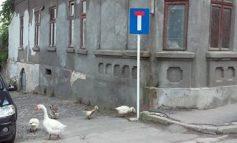 Culmea tupeului: niște gîște au ieșit la plimbare într-un oraș condus de vulpoi bătrîni