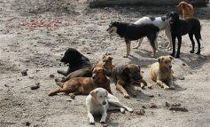 Primăria a găsit soluția:cîinii fără stăpîn din Galați vor fi trimiși la țară