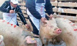 Ia să vedem cine intră în panică: pesta porcină a ajuns la granițele județului Galați